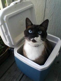 It's a hot day - I'm chillin' out. Tuxedo Cats, Cat Pin, I Love Cats, Funny Cats, Bowls, Vegas, Baskets, Kittens, Container