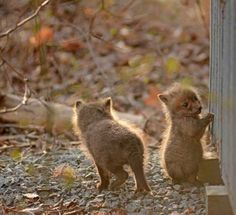 These baby foxes will melt your heart.