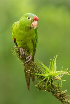 Crimson-fronted Parakeet (Aratinga finschi). A social parrot of forest edges in Central America. photo: Chris Jimenez.