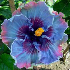 Dinnerplate Hibiscus Huge 10-12 Inch Flowers/ Fairy Dust