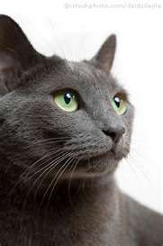 russian blue cat ... i want one!!