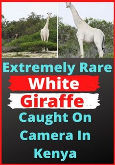 Extremely Rare White Giraffe Caught On Camera In Kenya Kenya, Tanzania, Level Up, New Pins, Funny Comics, Giraffe, How To Make Money, Cute Animals, Lol