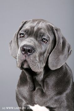 Cane Corso. i WANT THIS DOG!