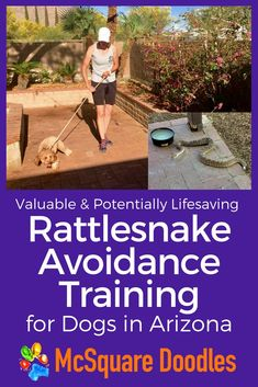 Rattlesnake Avoidance Training for Dogs in Tucson, Arizona — McSquare Doodles Therapy Dog Training, Dog Training Books, Training Your Puppy, Therapy Dogs, Dog Training Tips, Training Schedule, Camper, Sick Dog, Guide Dog