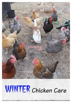 Winter time means a few more challenges in taking care of your flock, but they aren't difficult to implement. How to care for your flock in the winter~The HomesteadingHippy