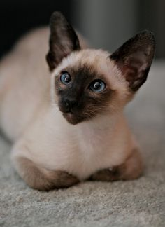 I had a cat just like this as a child... Honey Bunny )