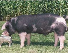 Spotted Pig Breeds | www.utahporkproducers.org