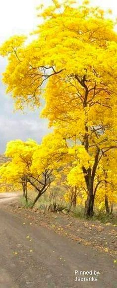 New yellow flowering tree bonsai 24 Ideas Beautiful World, Beautiful Places, Yellow Tree, Yellow Leaves, Autumn Scenery, Colorful Trees, Flowering Trees, Nature Wallpaper, Nature Pictures