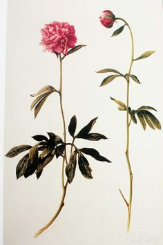 botanical illustrations from Treasures of Botanical Art: Icons from the Shirley Sherwood and Kew Collections by Shirley Sherwood and Martin Rix via http://blog.krisatomic.com/?p=1396