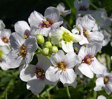 Zeekool - Wikipedia - zoutminnende plant
