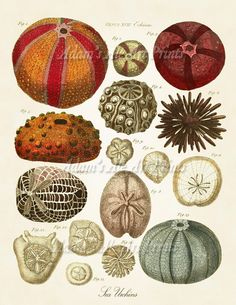 Vintage Seashell Art Print: Very Colorful Sea Urchins From British Natural History Circa 1783 Text. $9.99, via Etsy.