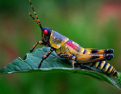 I don't like grasshoppers, because they devour my perennials! But this one is mighty pretty :) | Grasshopper