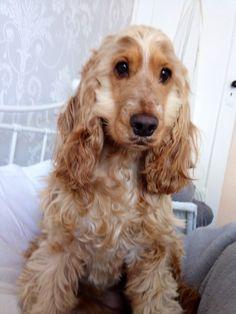 My baby girl #tilly #cockspaniel #puppylove