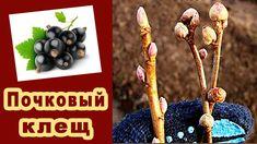 Почки смородины и крыжовника. Почковый клещ - вредитель на кустах ранней весной. Видео - YouTube