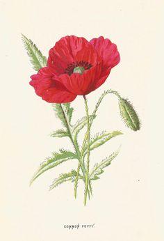 Antique print 1870 Poppy Botany Art Prints Natural by ImpalaPrints