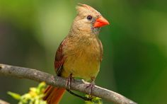 Male Cardinal Bird | HTML Code to Share on FB, Orkut, Hi5 etc