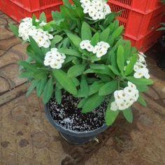 Euphorbia Milii, Crown Of Thorns, Ornamental Plants, Moonlight, Ornaments, Live, Amp, Crowns, Cactus Plants