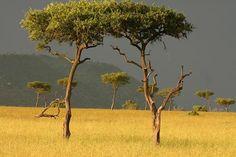 A fák is kötődnek egymáshoz – és felismerik a családtagjaikat   Impress Magazin  