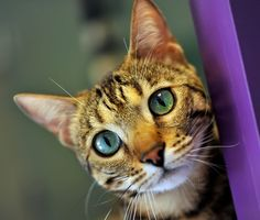 Bengal Cat by Josh Norem on 500px