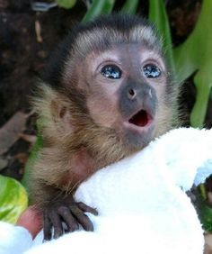 So Cute Drawing Animals Baby Animals Pictures, Cute Animal Pictures, Cute Monkey Pictures, Cute Little Animals, Cute Funny Animals, Little Monkeys, Capuchin Monkey Pet, Capuchin Monkeys, Cute Puppies