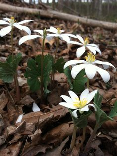 Bloodroot Project - growing.  orange for baskets