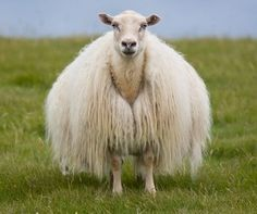 Icelandic sheep Wonder if their wool really grows on their neck like that or is it shaved that way?