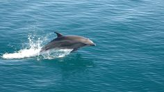 Male Dolphins Form Complex Alliances When Aiming To Control Females