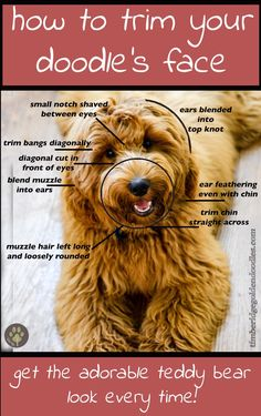 the perfect goldendoodle face clip! Love my teddy bear! is part of Goldendoodle haircuts - Teddy Bear Goldendoodle, Goldendoodle Haircuts, Goldendoodle Grooming, Dog Haircuts, Dog Grooming Tips, Poodle Grooming, Pet Tips, Dog Grooming Styles, Goldendoodle Training