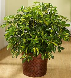 Schefflera is a common house plant that also goes by the name umbrella tree. Get tips for watering, repotting, pruning schefflera, plant care. Best Indoor Plants, Indoor Garden, Container Gardening, Gardening Tips, Container Plants, Lavender Potted Plant, Mini Plantas, Feng Shui, Bonsai
