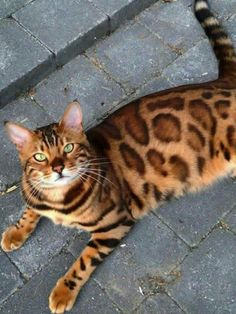 Playful Bengal cat - Tap the link now to see all of our cool cat collections!