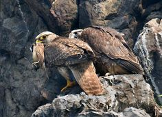 Golden eagles in Mongolia