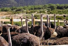 Ostrich Land is a tourist stop along Highway 246 near the town of Solvang. Visitors can feed huge the huge birds