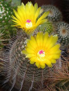 Notocactus mueller-m