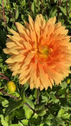 uncategorized Orange Dahlias blooming in Holland. Eileen Dinnerplate Dahlia to get this f Beautiful Flowers Pictures, Beautiful Flowers Garden, Flowers Nature, Amazing Flowers, Pretty Flowers, Flower Pictures Roses, Best Flowers, Blossom Garden, Dahlia Flower