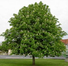 Divlji kesten Aesculus hippocastanum - Horse chesnut frequently planted ornamental tree in Croatian cities