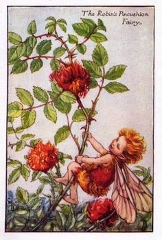 """Vintage print 'The Robin's Pincushion Fairy' by Cicely Mary Barker from """"The Book of the Flower Fairies""""; Poem and Pictures by Cicely Mary Barker, Published by Blackie & Son Limited, London [Flower Fairies - Autumn] Cicely Mary Barker, Autumn Fairy, Vintage Fairies, Vintage Art, Flower Fairies, Fantasy Illustration, Fairy Art, Fall Flowers, Faeries"""