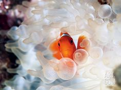 A Spine-Cheek Clownfish Nestles in Its Bulb Tentacle Sea Anemone Photographic Print by David Doubilet at Art.com