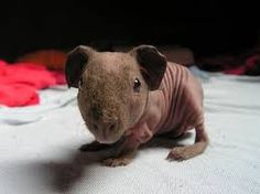 Image result for BABY SKINNY PIGS