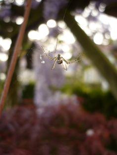 Spinnetje in onze tuin.