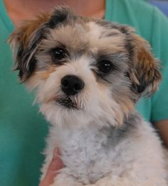 """Pelly wants an owner who likes hugging and doggie kisses. He is an adorable young Shih-Tzu mix, 1 year of age, a neutered boy, debuting for adoption today at Nevada SPCA (www.nevadaspca.org). Pelly loves people and dogs. Please plan and budget for regular professional grooming to keep him feeling and looking his best. Pelly reportedly became homeless because he was """"too hyper"""". Please visit and ask for Pelly by name."""