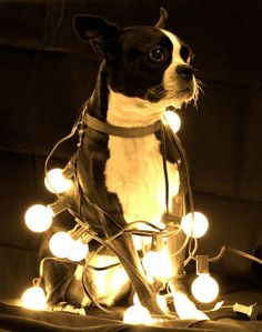 Boston Terrier dog named Ada from Seattle, Washington having christmas string lights around the body. Visit : www.bterrier.com for more about the Boston Terriers.