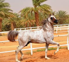 SAVIO DREAM CATCHER SMF x OM EL SHADINA  DOB: 2004 Strain: VERANA Origin: EGYPTIAN/SPANISH - AL-Mohamadia Arabian Horse Stud