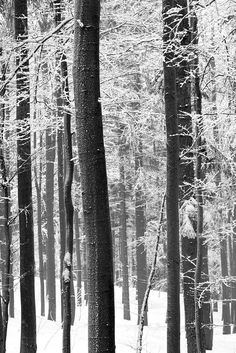 Winter Trees _ walk in the #wood when #snow just stop and you are the fisrt stupid human to come bother the #beautiful #nature