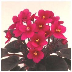 Little Ruby Optimara violet