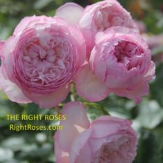 Princess Alexandra of Kent Rose Review   David Austin 2007 - The Right Roses Jude The Obscure, Garden Rose Bouquet, Small Shrubs, Chocolate Roses, Shrub Roses, Princess Alexandra, David Austin Roses, Kinds Of Colors, Colorful Garden