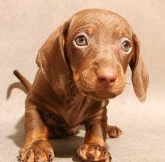Foto de un cachorro perro salchicha