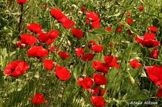 Red Poppys in nature
