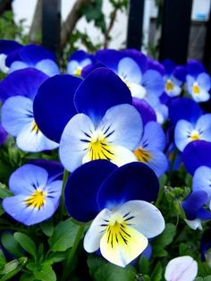 Beautiful blue and white pansies.