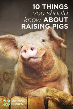 Raising pigs is a unique experience. Most people who want to raise pigs in their backyard usually aren't ready for it. Read this first! Pig Farming, Backyard Farming, Chickens Backyard, Farming Ideas, Raising Farm Animals, Raising Chickens, Meal Worms Raising, Pot Belly Pigs, Pig Pen