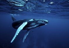 Humpback Whales travel as far as 16,000 miles  annually, a much greater migrating distance than any other mammal on Earth. They travel to warmer waters to mate during the winter, returning to the Arctic or Antarctic parts of the ocean for feeding in the summer.